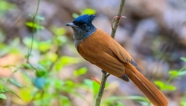 indian-paradise-flycatcher-female-chinnar-1-1016